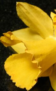 Damaged Dried Yellow Daffodil