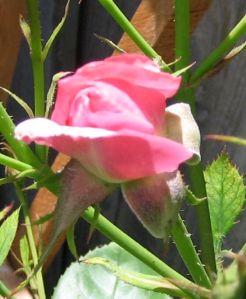 Opening Rosebud