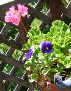 Pink Geraniums and Purple Pansies