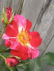 Pretty red striped rose with two buds