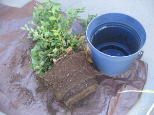 Remove blueberry plant from pot