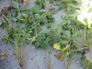 Strawberry plants divided