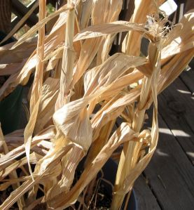 Dried Cornstalks
