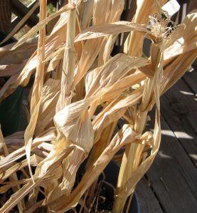 Dried Cornstalks