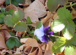 Pansy in Fallen Leaves