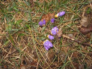 Purple Crocuses in Rain