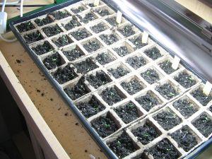 Celery Seedling Starts