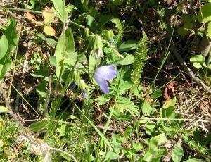 Bellflower (Purple Montana Wildflower) in the forest floor