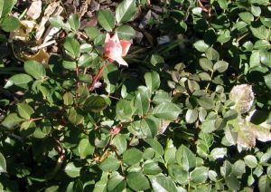 Pink Rosebud in Fall